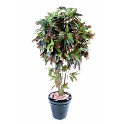 Croton artificial