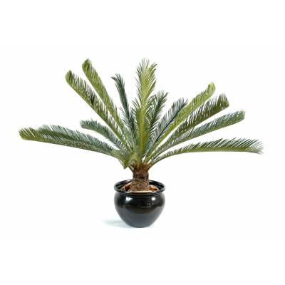 Cycas artificial GEANT *15