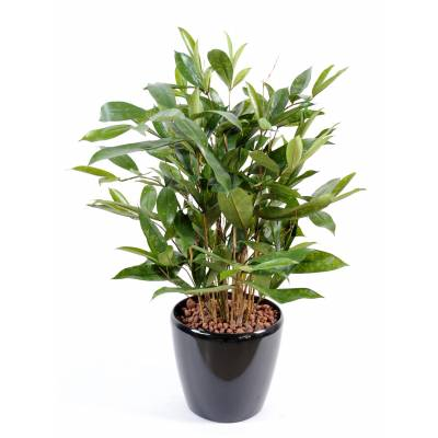Dracaena artificiel SURCULOSA POT