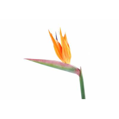 Strelitzia artificial STEM