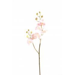 Phalaenopsis artificial M ROD