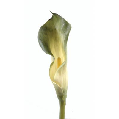 Calla artificielle LILY