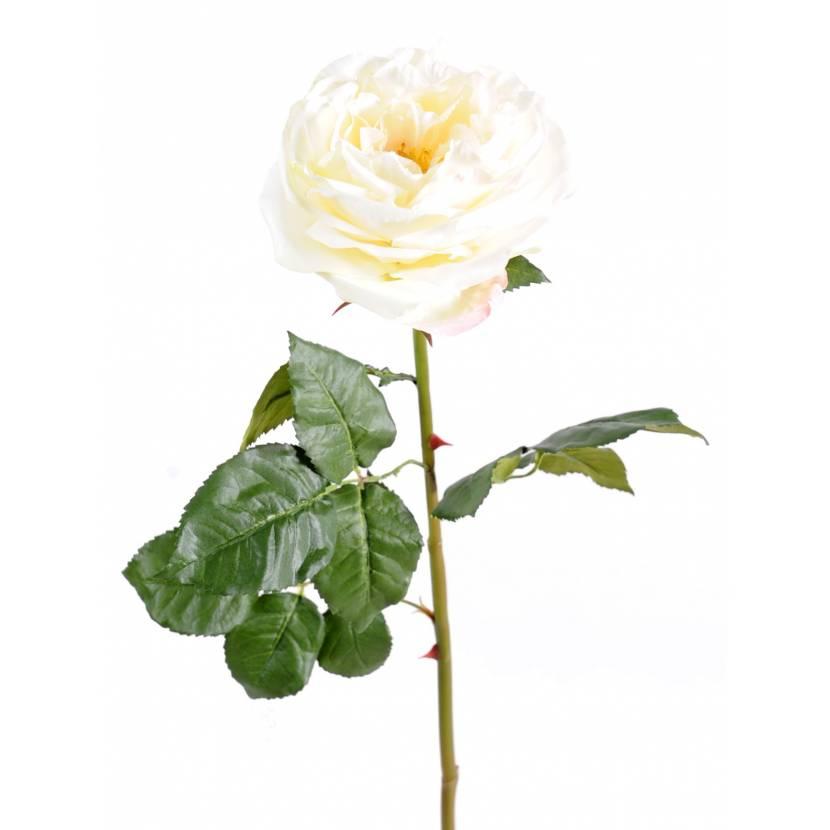 ENGLISH ROSE 14