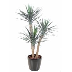 Yucca artificial ROSTRATA