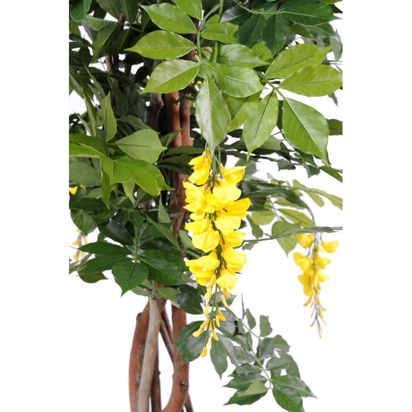 glycine en pot excellent download highres image with glycine en pot latest wisteria venusta. Black Bedroom Furniture Sets. Home Design Ideas