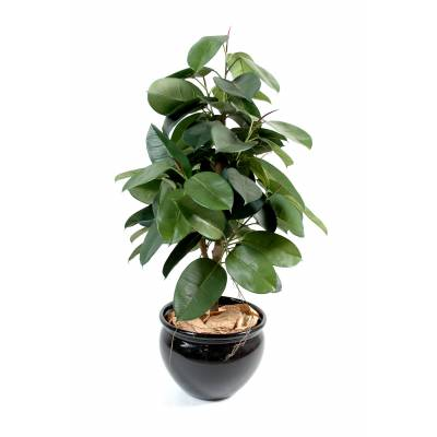 Ficus artificiel ELASTICA (Rubber plant tree)