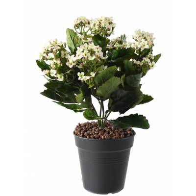 Kalanchoe artificial