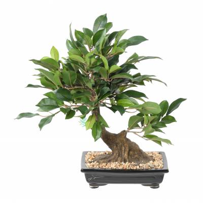 BONSAI FICUS Artificiel EN COUPE