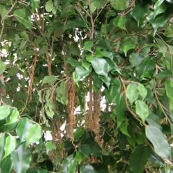 Ficus artificiels
